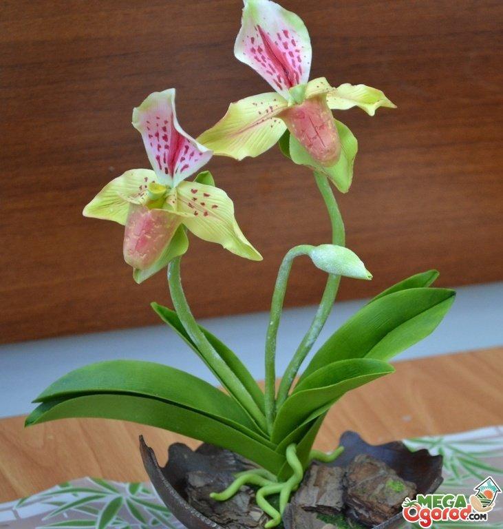 Венерин башмачок орхидея фото