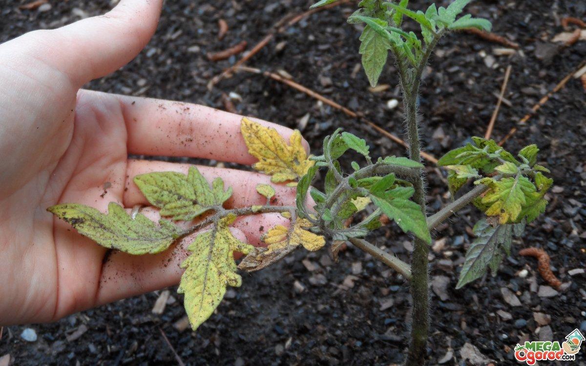 Уход и технология выращивания