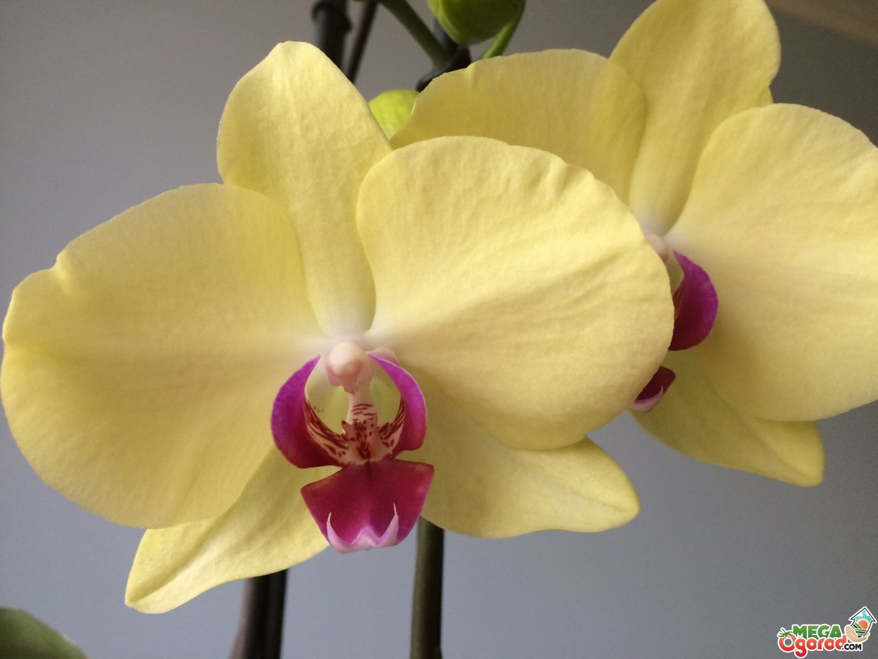 Цветки орхидеи применение