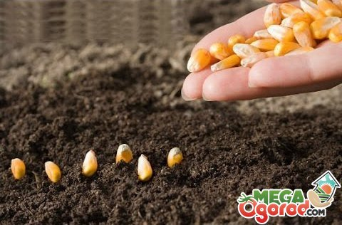 кукуруза в дырке