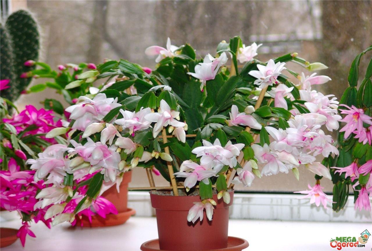 Декабрист — уход в домашних условиях для длительного и яркого цветения