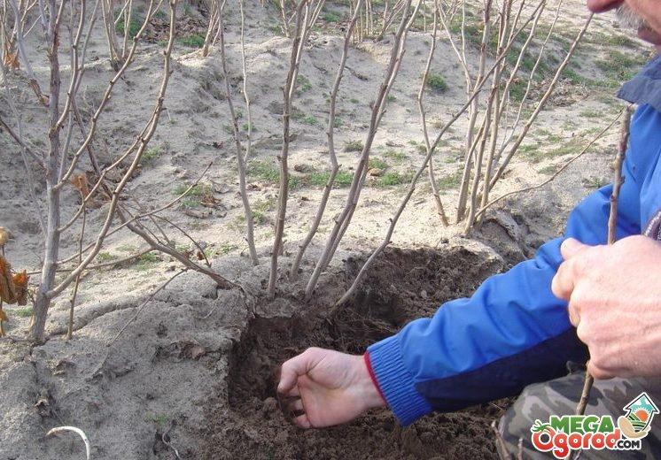 Когда сажают орех весной или осенью 46
