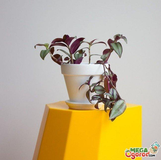 Цветок традесканция: виды комнатного растения, фото и видео 80