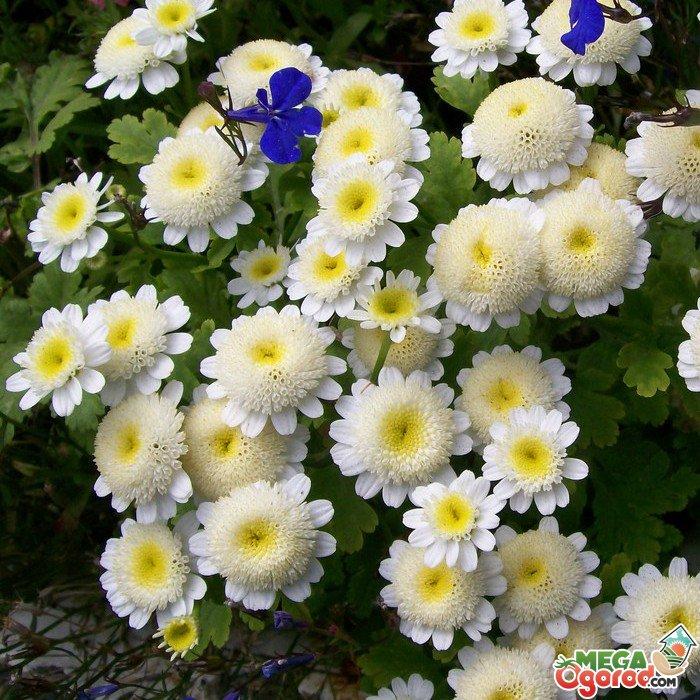Cадовые цветы каталог с фотографиями и названиями