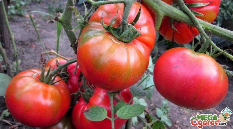 помидоры хлебосольные фото отзывы