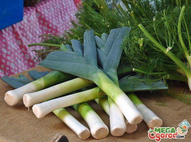 Лук-порей: выращивание от посева до уборки 5