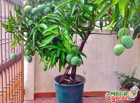 Манговое дерево: посадка и уход в домашних условиях