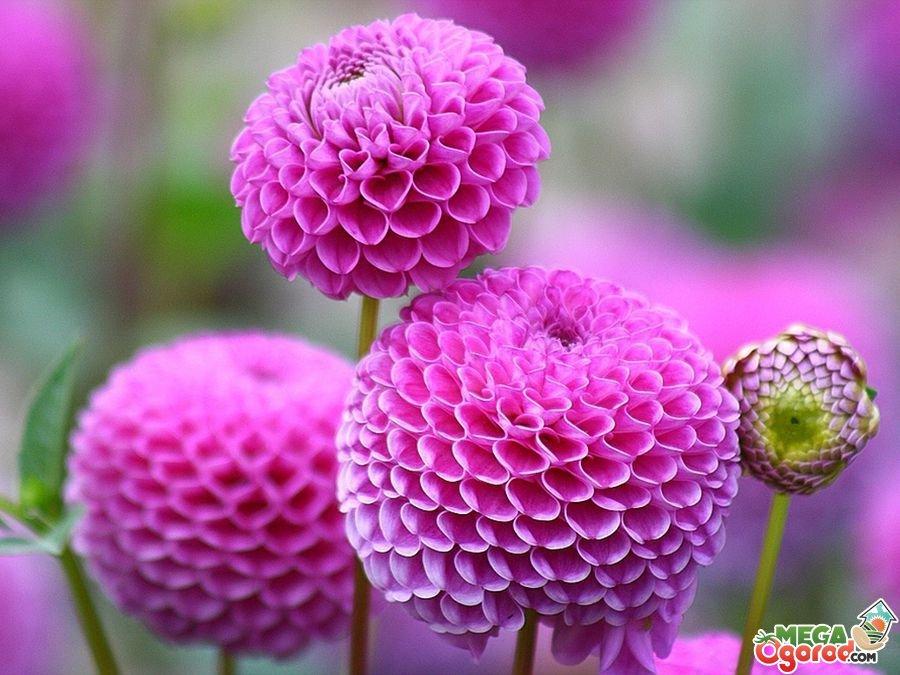 Красивые цветы многолетники для дачи 13