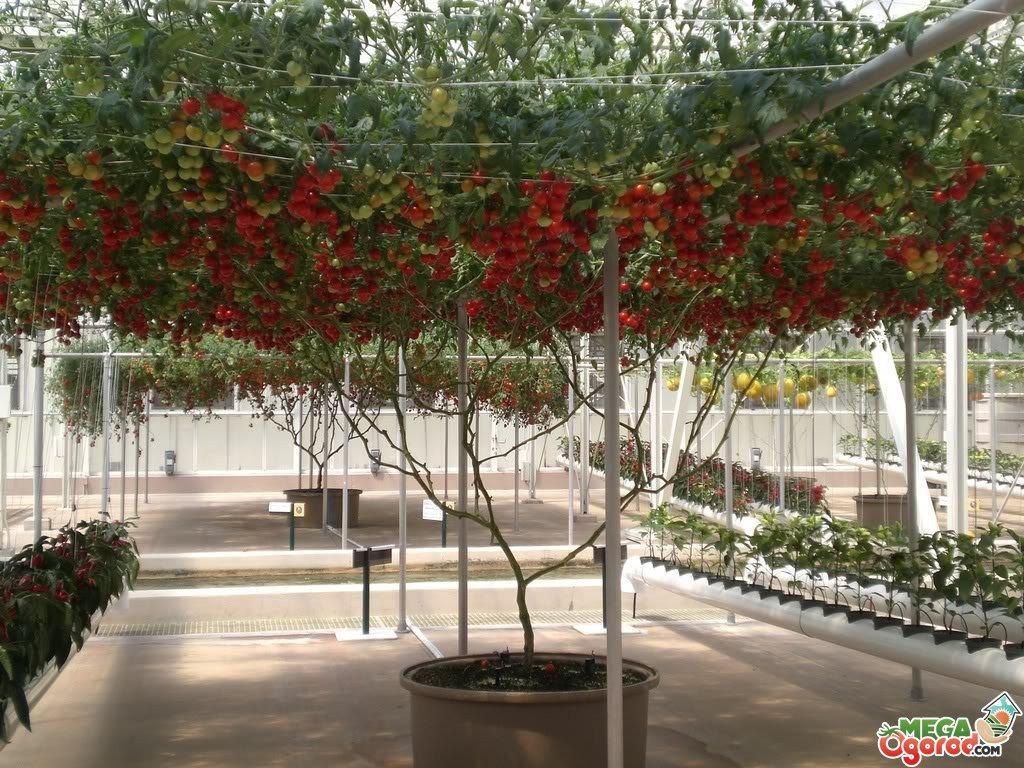 помидорное дерево фото