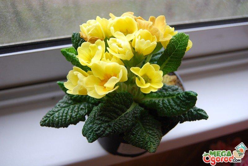 Цветок комнатный примула