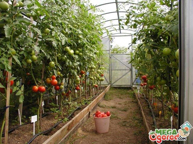 Вторая подкормка помидоров