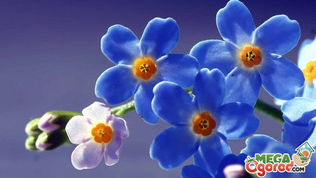 Цветы незабудки фото и картинки