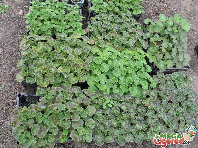 Пеларгония выращивание из семян с фото 97