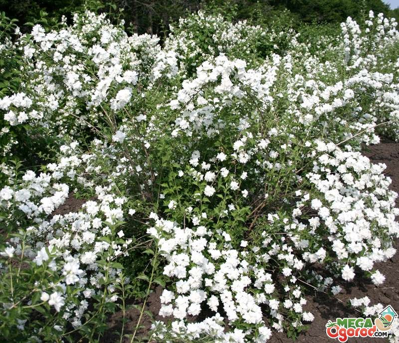 сорта жасмина садового фото