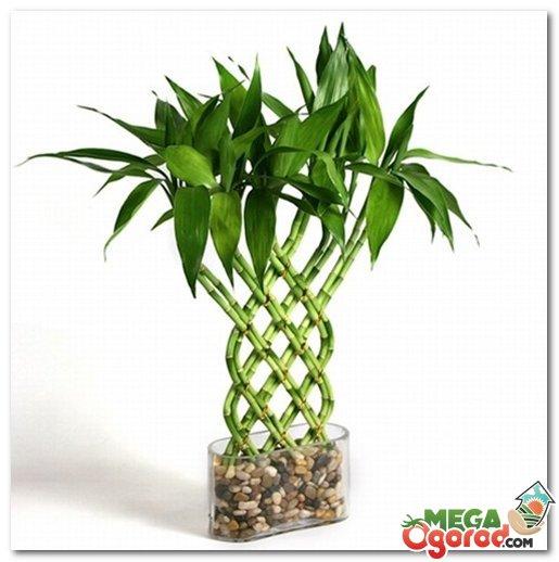Декоративный бамбук в домашних условиях уход Flowery-Blog 1