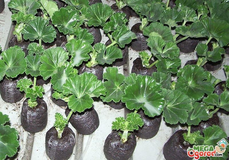 Пеларгония выращивание из семян с фото 82