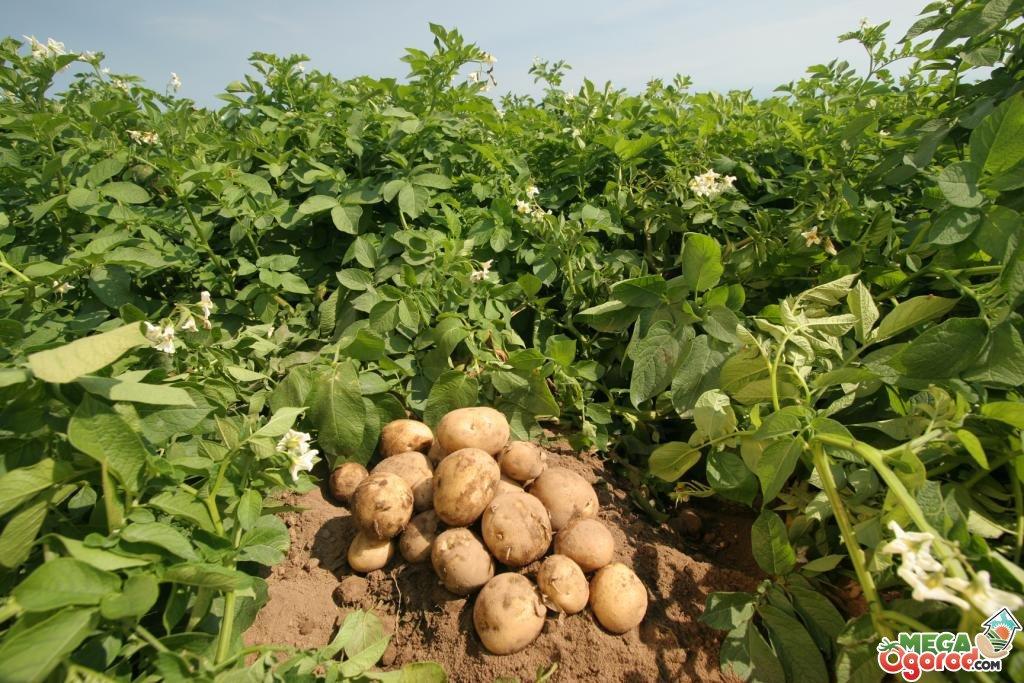 Výsledek obrázku pro картофель урожайность