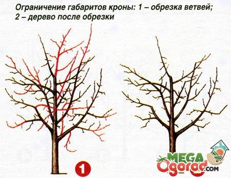 Как правильно делать формирующую обрезку груши Сайт о саде 15