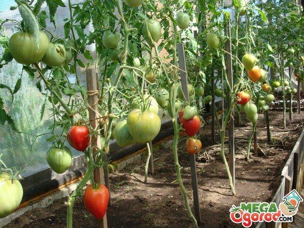 Уход и выращивание томатов в сибири