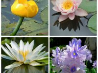Цветы, растущие в воде