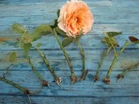 Подготовка черенков роз